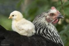 petit poussin sur le dos de leur mère