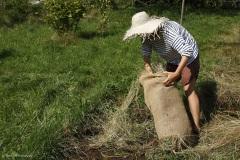 Comment créer une prairie maigre dans son jardin. Le foin de fleurs est répandu sur la surface de sol travaillé.