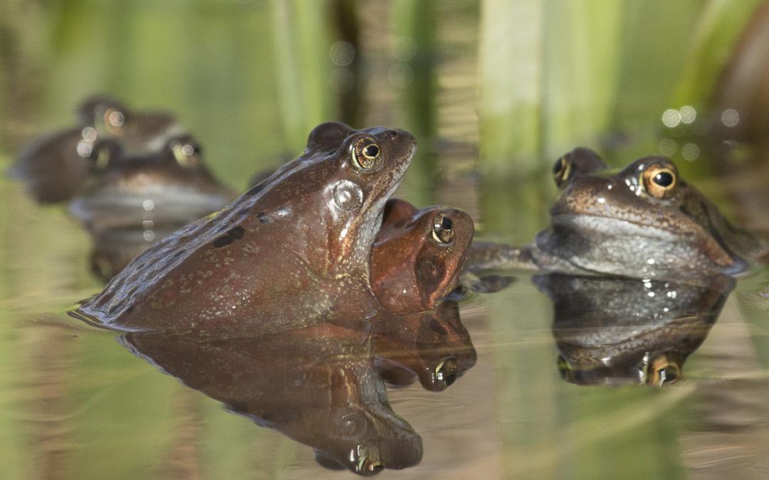 Branle-bas de grenouilles
