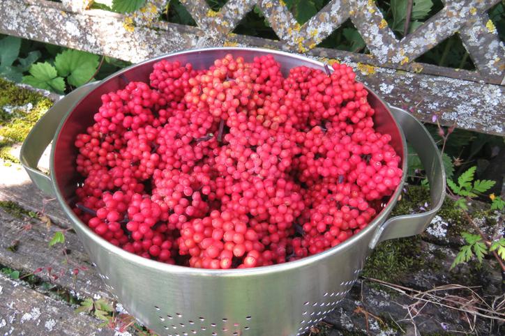 Sureau rouge et pleurotes: des saveurs du sous-bois au jardin