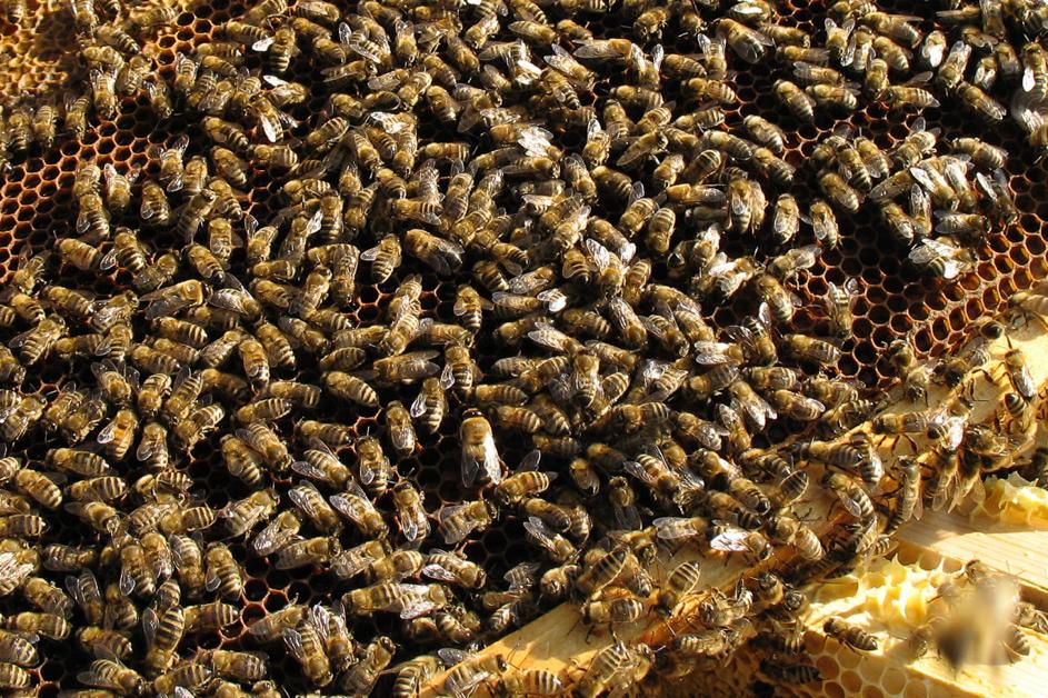 Au secours! J'ai trop d'abeilles!