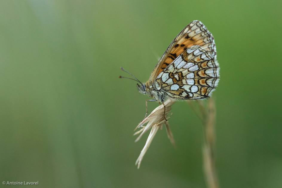 Emois de papillons