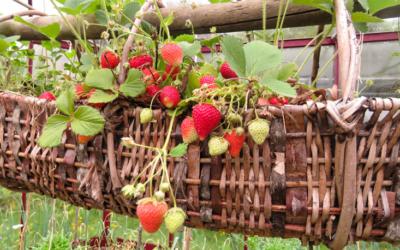 Des fraises à tous les étages