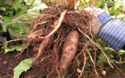 La poire de terre: un tubercule à adopter!