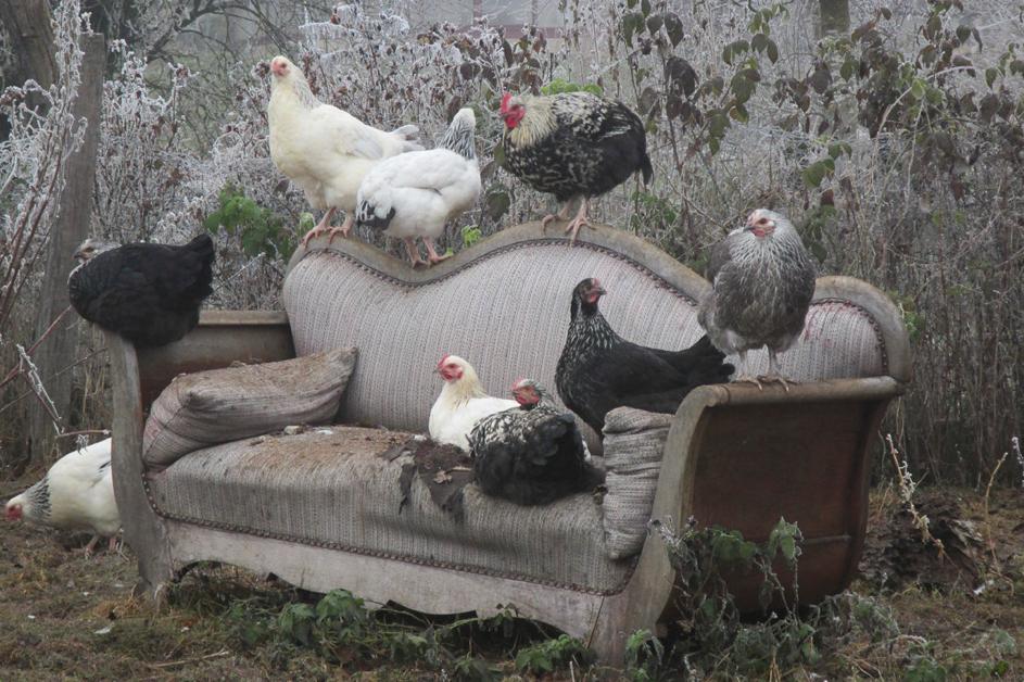 Luxe de poules