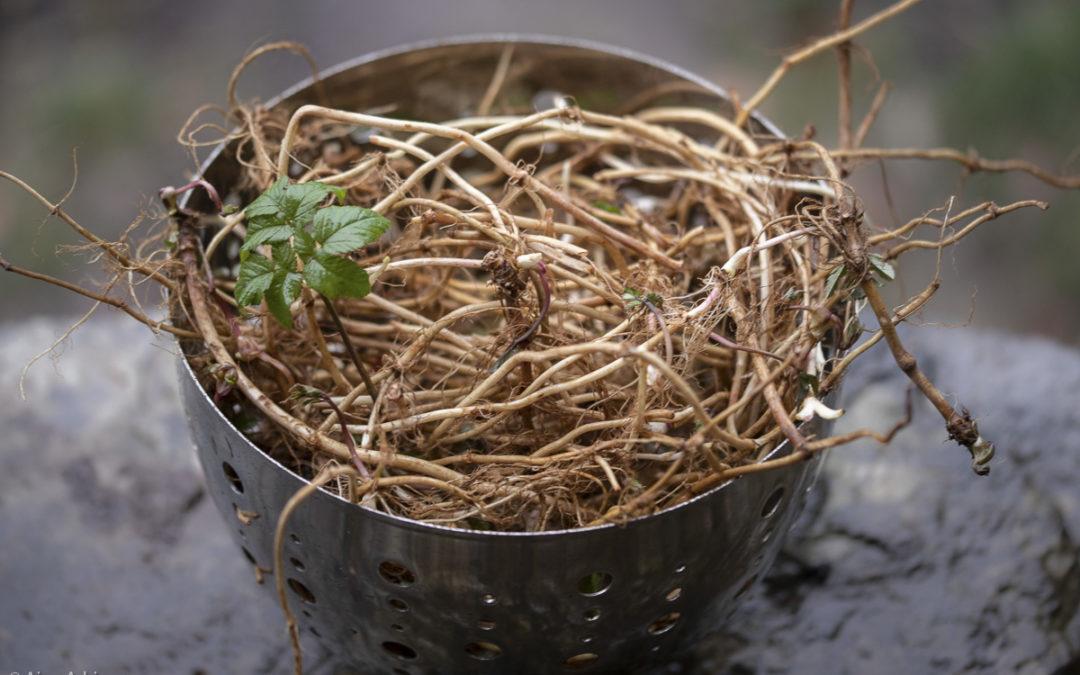 Bouffer l'égopode par les racines